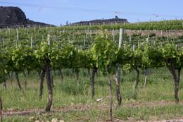 IMG_0472 ワイン畑 s.jpg