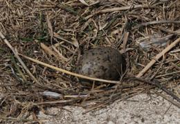 IMG_7769 ウミネコの卵 s.jpg